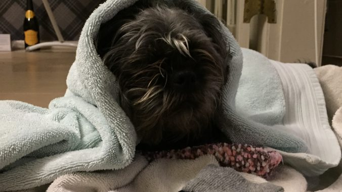 Dog in a towel
